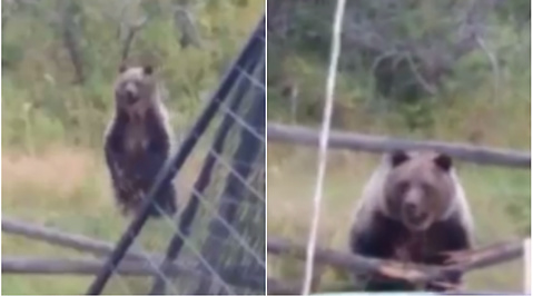Grizzly, Attack, Husdjur