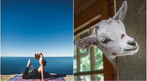 Yoga, Oregon, Goat Yoga, Lainey Morse