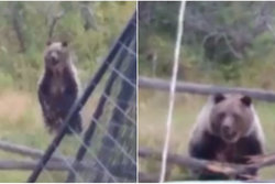 n24video, Husdjur, Attack, Grizzly